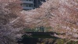 Kirschblüte in Waseda