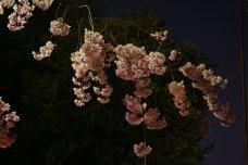 Kirschblüte bei Nacht