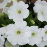 夏の花でおすすめはこの3種類 花数が多く手入れが簡単で長く咲きます
