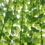 春に植えたいグリーンカーテンにおすすめの植物5選!