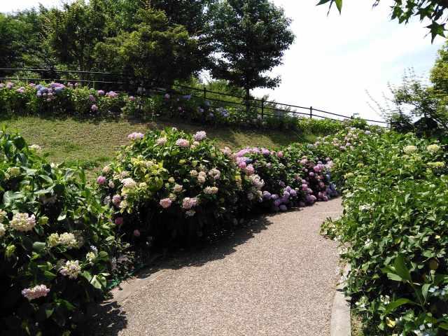しらとりの郷の坂道に咲くアジサイ