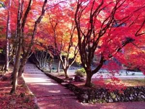鶏足寺の参道を覆い尽くす赤や黄色のモミジ