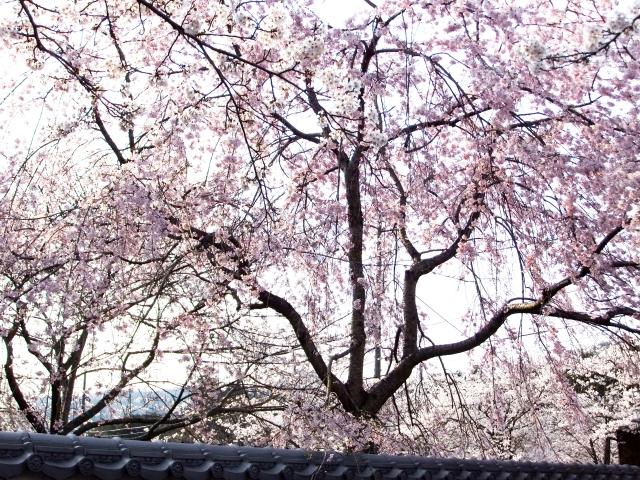 根来寺のシダレザクラ