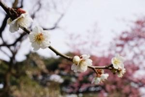 春を待つ梅