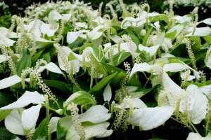群生する半夏生の花