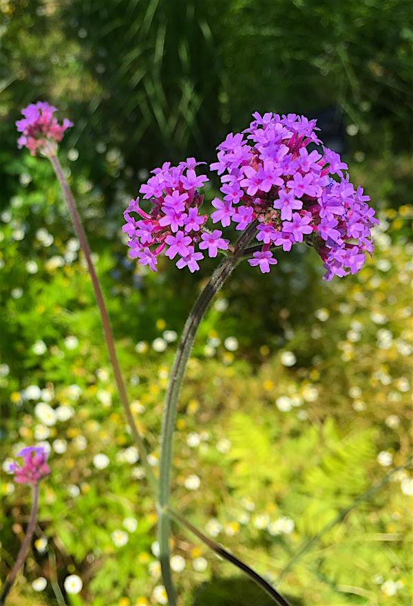 牧野植物園ピンクの花