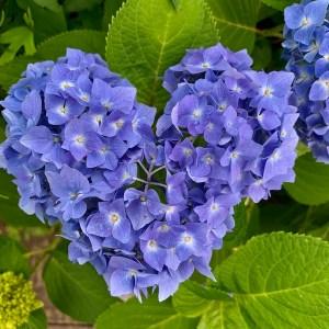紫陽花2020♥の青
