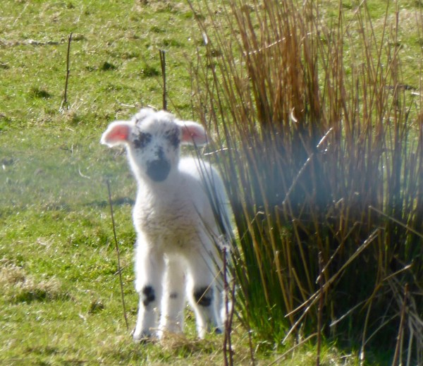 ropped cute lamb