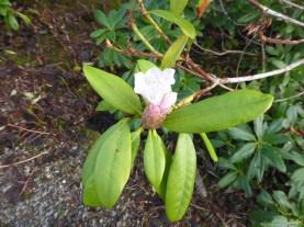 rhoddodenron bud