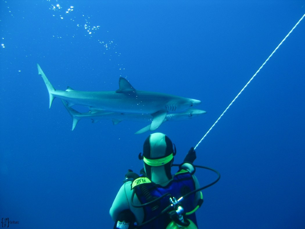13 two blue sharks diving