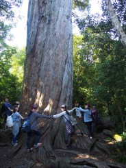 1,000 year-old tree