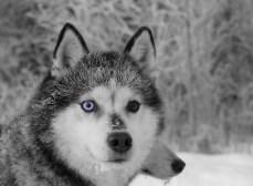 Cheyenne, chien de traineau