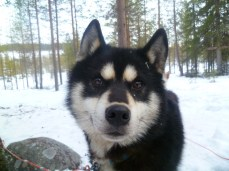 Hamarok, chien de traineau