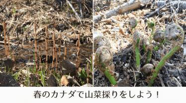 カナダで山菜採り!春はこごみ(Fiddlehead)やツクシがいっぱいです