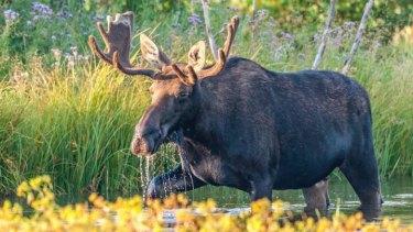 カナダの動物20選!有名なシンボル的存在はムースやビーバー!野鳥も