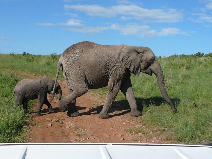 マサイマラの草原を優雅に歩く像の親子。 子象がいる時は母親像が凶暴になるのであまり近づいてはいけないらしい