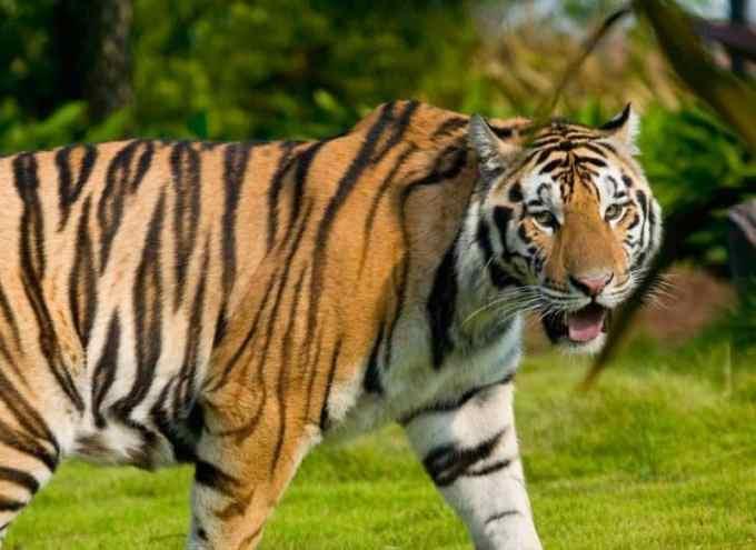 Contoh Teks Fabel Harimau Yang Bodoh