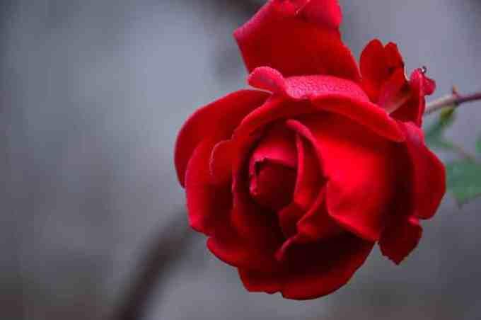 Contoh Teks Observasi Singkat Tentang Bunga Mawar