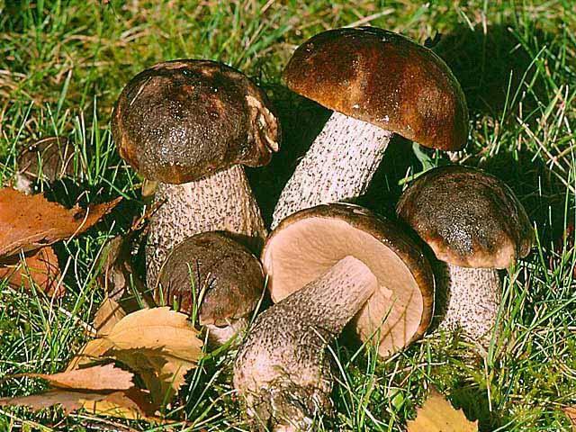 Как замариновать грибы. Особенности и советы по маринованию грибов. Быстро и просто: рецепты маринадов