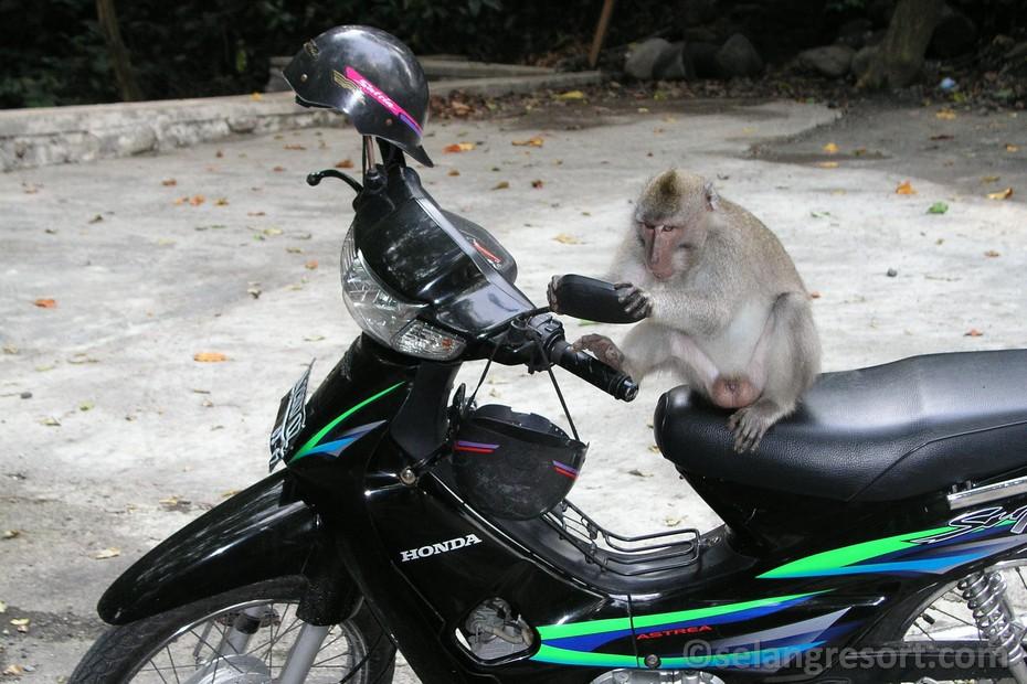 Monkey forest Ubud Bali opice