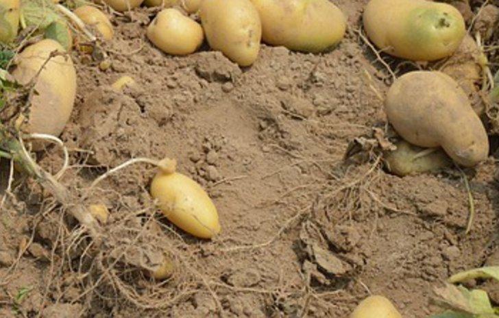 Frisch freigelegte Kartoffeln in einem Selbstversorgergarten