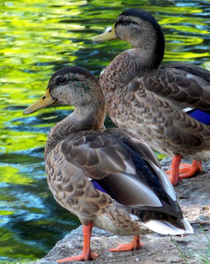 Zwei Enten am Wasser
