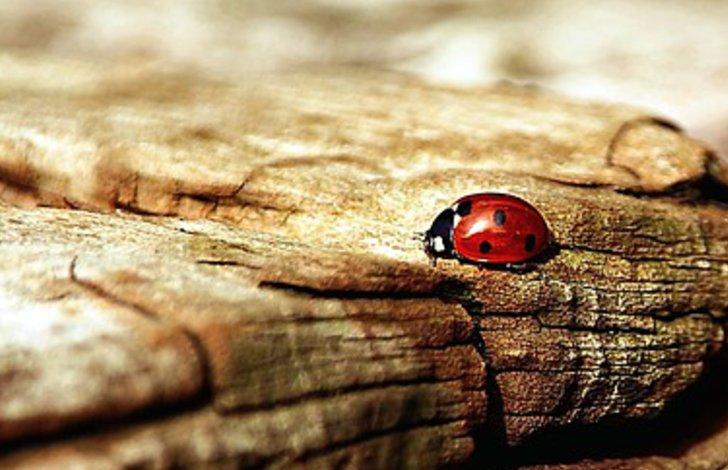 Ein Marienkäfer auf einem alten Stück Holz