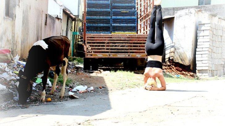 Frau macht Kopfstand auf einem Bauernhof neben einem Kalb