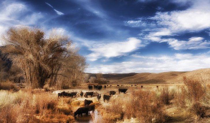Extensive Rinderherde auf einer grossen Weidefläche