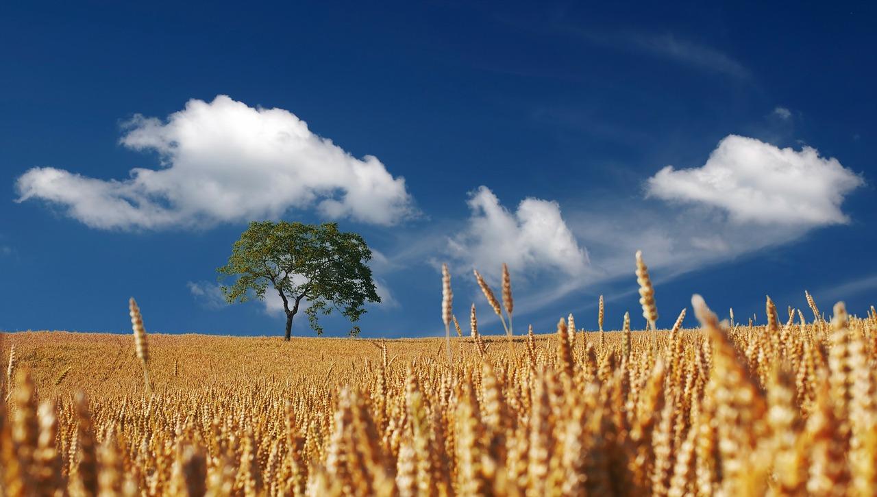 Reifes Weizenfeld mit Baum