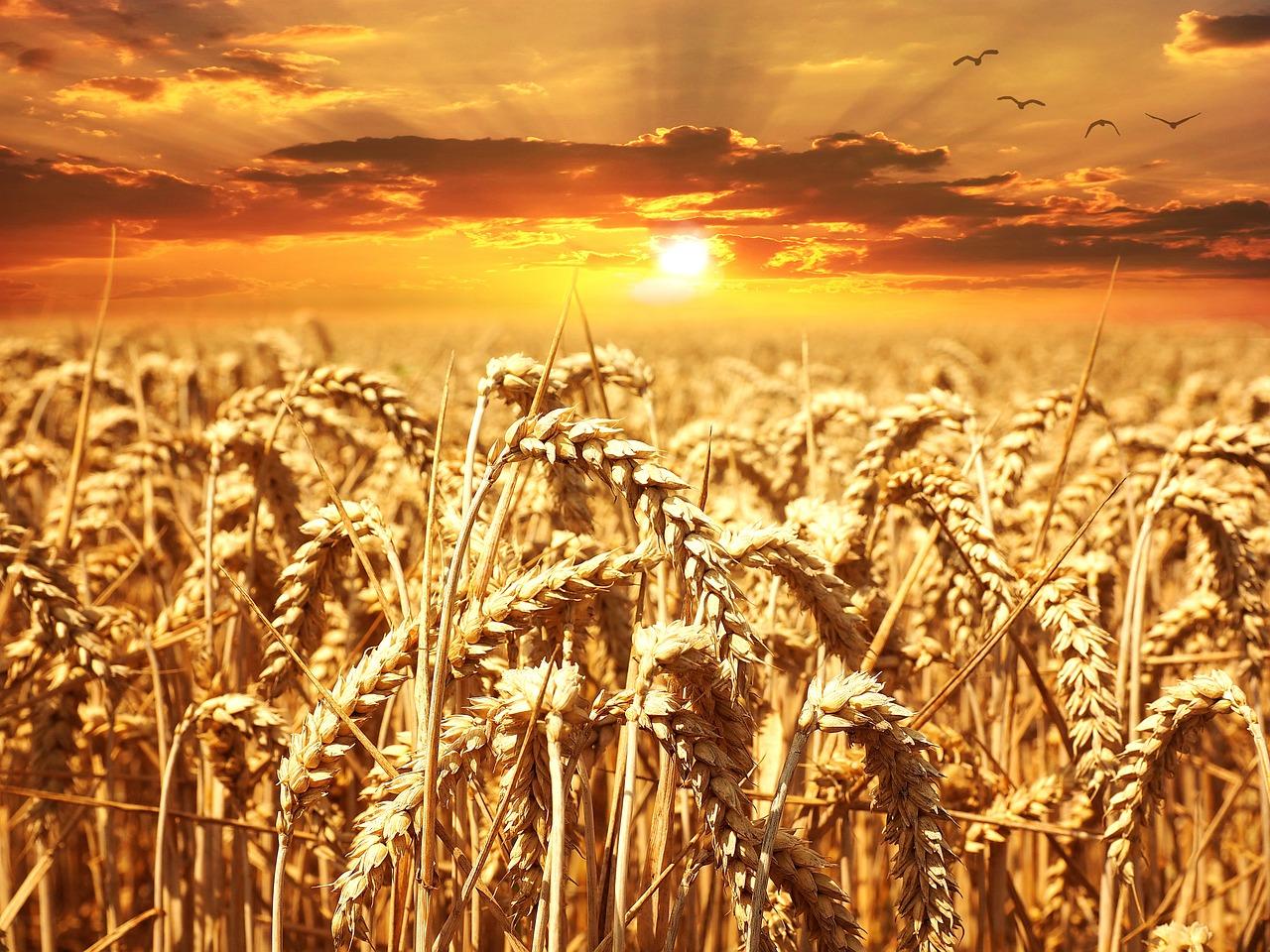 Sonnenuntergang über Getreidefeld