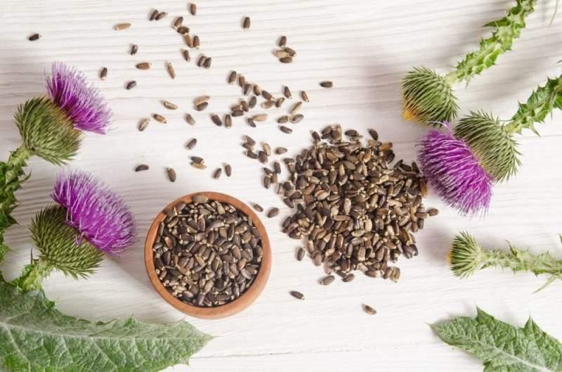 Chardon-Marie: l'un des meilleurs remèdes naturels pour stimuler le système immunitaire