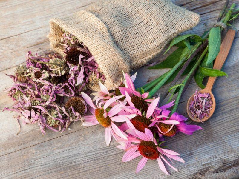 Échinacée: l'une des meilleures plantes pour renforcer le système immunitaire