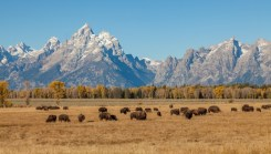 grand teton national park beautiful snow capped mountain tops with buffalo roaming in front