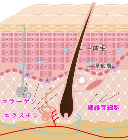 コラーゲンとエラスチンと線維芽細胞の画像