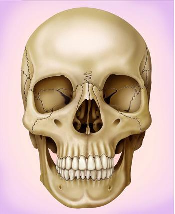 頭蓋骨の画像