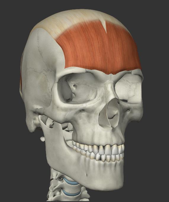 前頭筋の画像