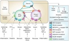 Alpha-MSH: Its Role in Weight, Autoimmunity, Chronic Inflammation & CFS