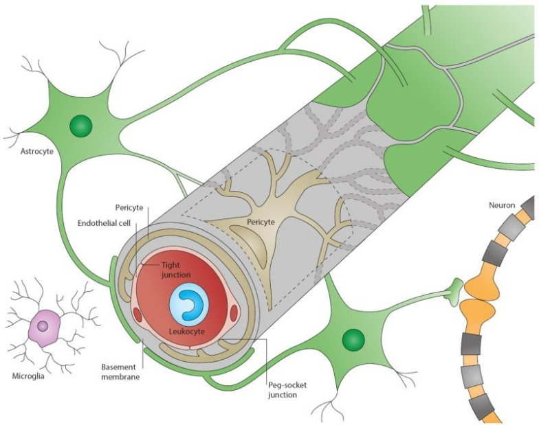 blood-brain barrier with glial, neurons, and blood vessels