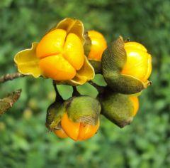 Celastrus paniculatus seeds