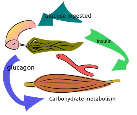 Glucagon and Insulin