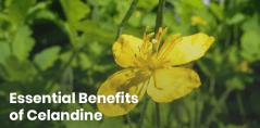 19 Celandine Uses + Side Effects