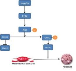 FOXO1_adipogenesis