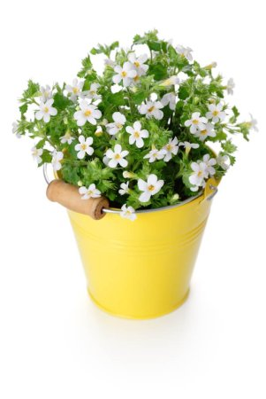 Bacopa Pot