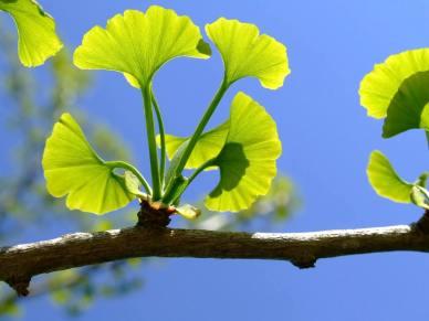 ginkgo-branch