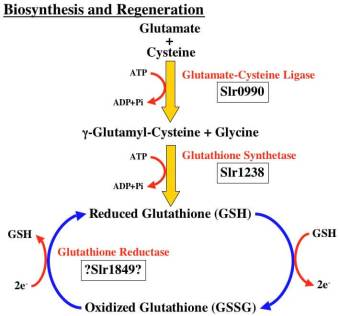 glutathione_synthesis
