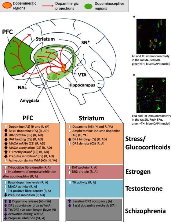 dopamine sex hormone in Waterloo