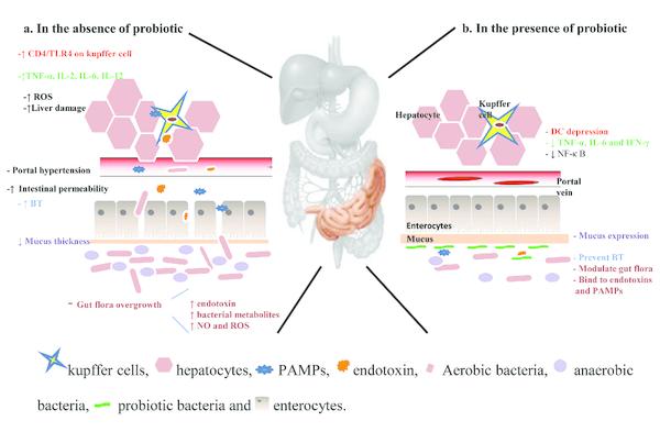 probiotics-liver