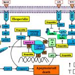fig-3-chemopreventive-mechanism-of-hesperidin-in-cancer-development-hesperidin-exerts