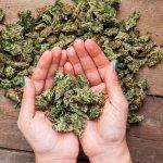 bigstock-marijuana-buds-120482060-min